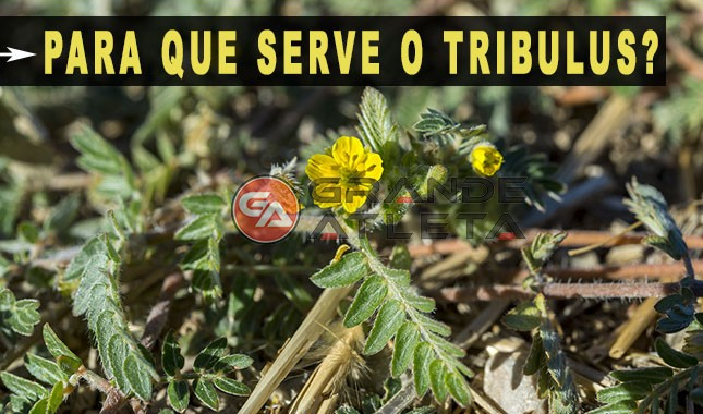 para que serve o tribulus terrestris planta erva